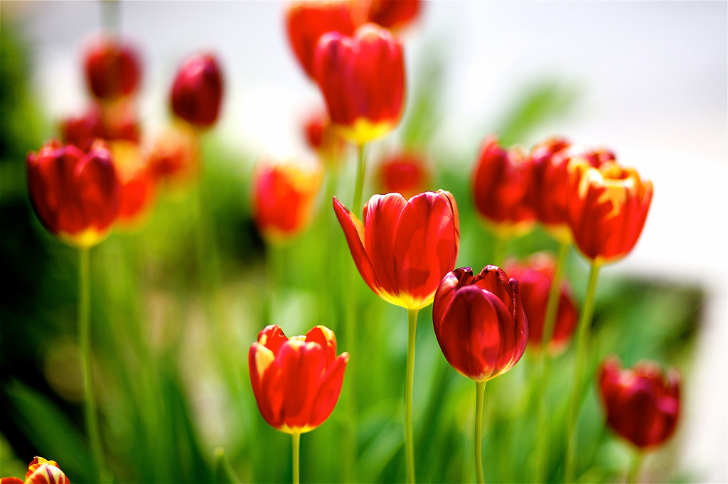 IMAGE: http://kevin-jones.smugmug.com/Other/General/i-HNgtTPN/0/XL/Tulips2-XL.jpg